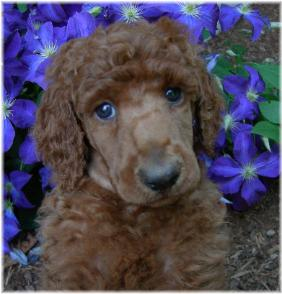 Paris Poodles Premium Breeder Of Healthy Standard Poodle