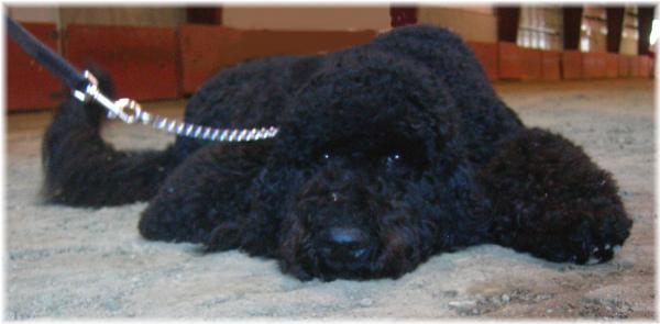 Paris Poodles-premium breeder of healthy standard poodle